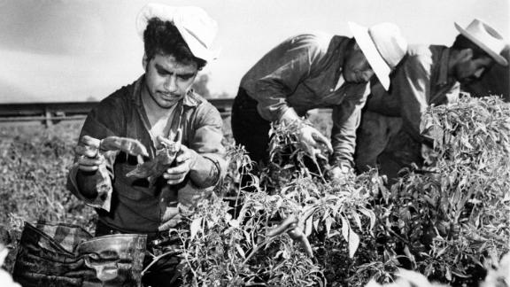 Mexican migrant workers, employed under the Bracero Program to harvest crops on Californian farms, are shown picking chili peppers in this 1964 photograph.