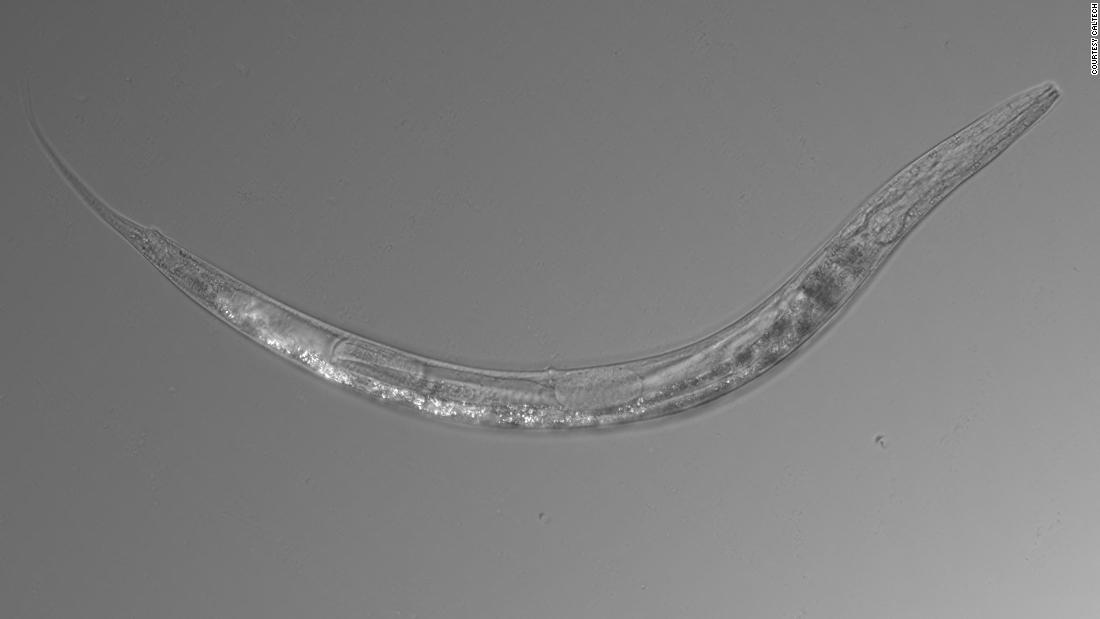 Scientists discover a worm that has three sexes and a pouch like a kangaroo's