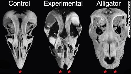 Science reveals that some dinosaurs might have tasted like birds eaten today. In one study, scientists at Yale and Harvard were actually able to alter chicken embryos to grow the snouts of velociraptors rather than beaks, as seen in these skull images from the experiment.