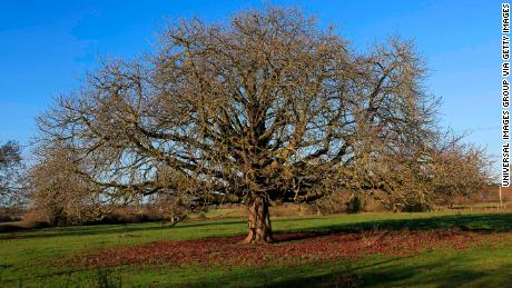 The horse chestnut tree, Aesculus hippocastanum, is one of Europe's threatened species.