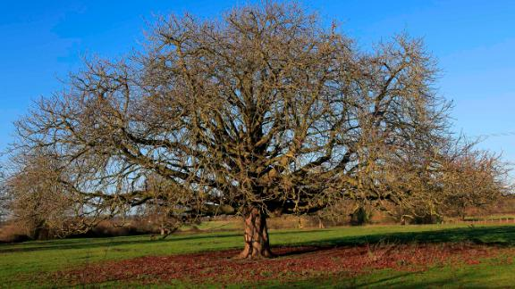 The Horse Chestnut tree, Aesculus hippocastanum, which is a threatened species in Europe.