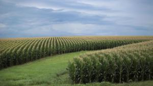 Corn grows on a farm on July 13, 2018 near Tipton, Iowa.