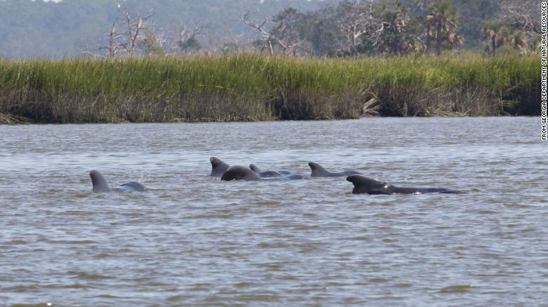 Pilot whales at the Georgia shore this week