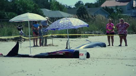 Four pilot whales are dead after being found on a South Carolina beach.