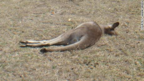 A kangaroo believed to be hit by a car is seen on someone's front lawn in the Australian province of New South Wales.