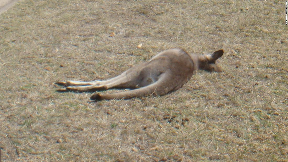 Komunitas shock setelah 20 kanguru tewas dalam jelas hit-and-run foya