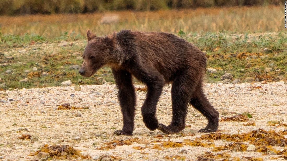 Kurus beruang grizzly di Canada percikan yang lebih besar kekhawatiran atas habis populasi ikan salmon