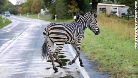 A runaway zebra on a road on October 2, 2019 in the town of Thelkow, Germany.