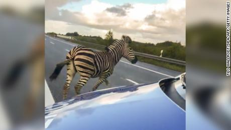 A runaway circus zebra next to a police car on a highway on October 2, 2019 near the town of Tessin, Germany.