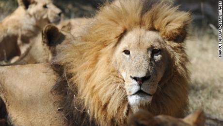 South Africa seizes almost 800 pounds of lion bones bound for Malaysia
