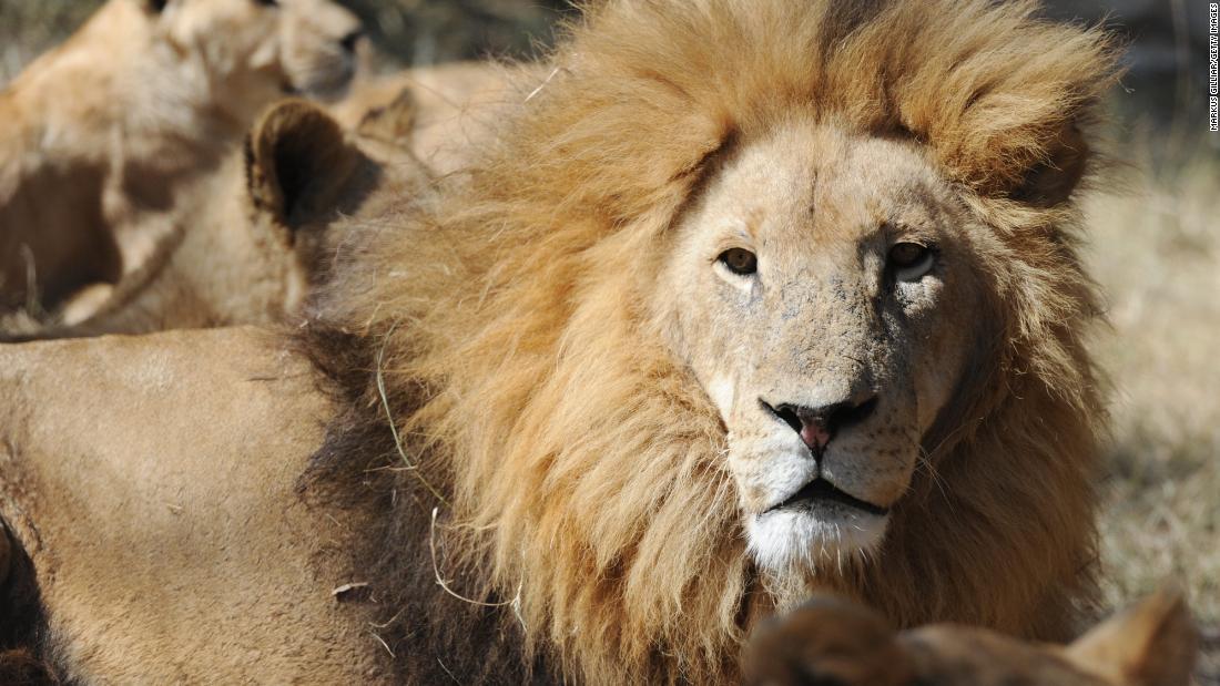 約800ポンドのライオンの骨を空港で押収された