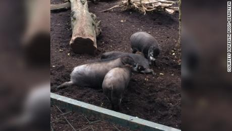 The Visayan warty pigs were observed at a Parisian zoo.