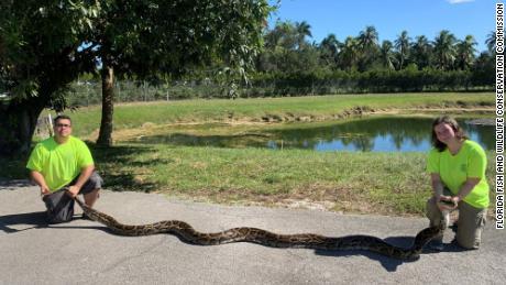 A massive 98-pound Burmese python was captured in Florida