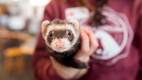 Reducing anxiety is a key benefit of therapy animals. Slinky the ferret came to University of New England's Portland campus with other small furry creatures to help relieve the stress of midterm exams for students.