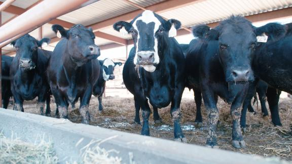 Cow Methane