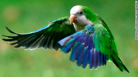 The monk parakeet, known an invasive species in Spain, is facing a cull after causing problems for local residents and threatening biodiversity.