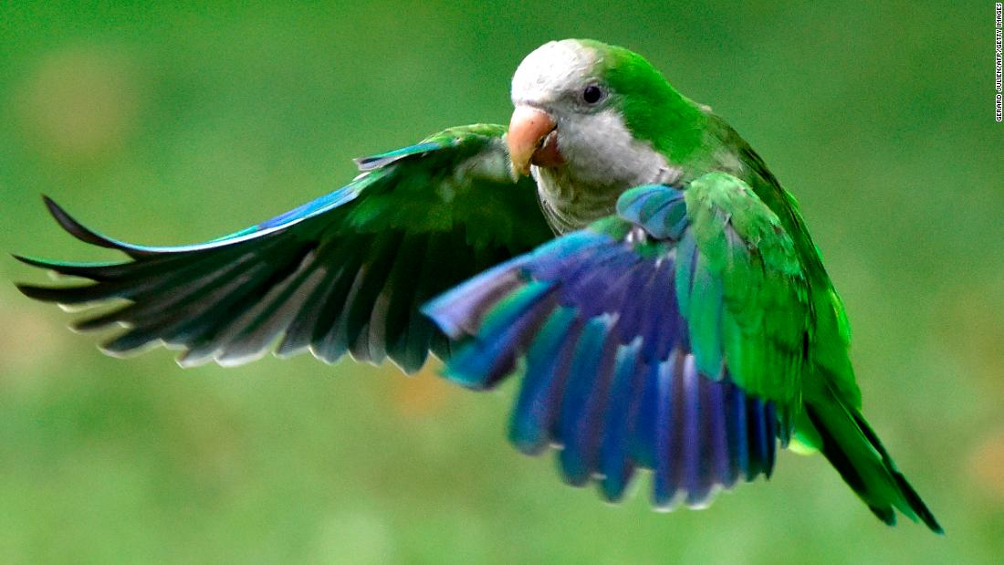 Madrid plans 'ethical cull' of city's parakeets