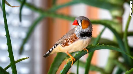 Zebra finch male sitting on a green branch plant indoors.