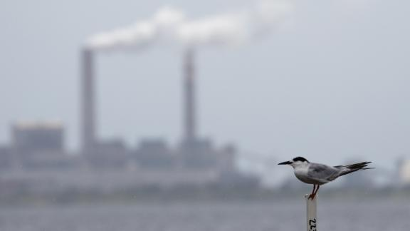 A tern sits across Hillsborough Bay from a coal-fired power station.