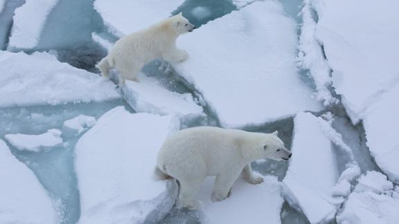 Polarbear mom and cub get close Polarstern. October 4,. 2019
