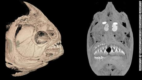 A CT-scanned image, left, of the red-bellied piranha (Pygocentrus nattereri) shows a set of lower teeth growing below the existing teeth. An advanced imaging technique, right, of the same fish illuminates the replacement teeth on both the bottom and top of the jaw.