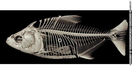 A CT-scanned image of the piranha Serrasalmus elongatus, also known as elongated or pike piranha. Note the ingested fish fins in its stomach.