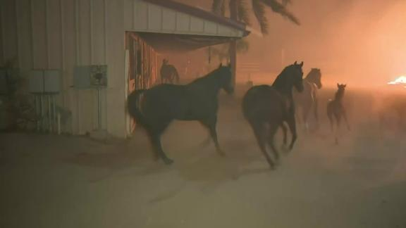Forty horses — captured on tape being spooked and panicked during a brush fire that came dangerously close to their ranch Thursday evening — all made it to safety.