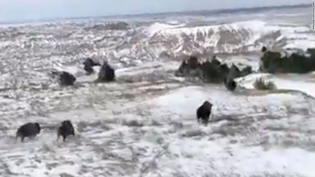 Bison return to an area of Badlands National Park for the first time in nearly 150 years