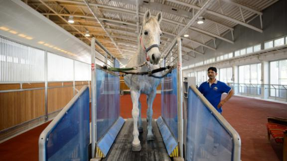 Horses are regularly trained indoors on a treadmill, which can replicate the hilly terrain of races for the endurance runners.