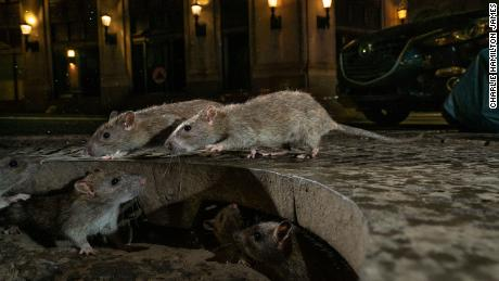 With the restaurants closed, the rats are becoming aggressive, the CDC says