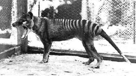This thylacine was the last of its kind to be captured and died in Hobart Zoo on September 7th, 1936.