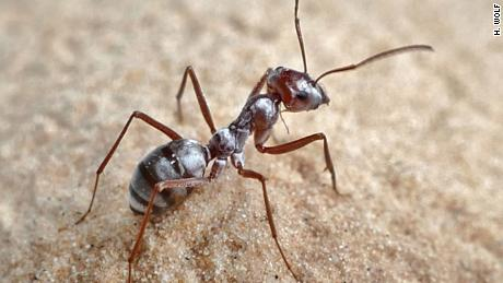 The Saharan silver ant, which can travel at 108 times its body length per second.