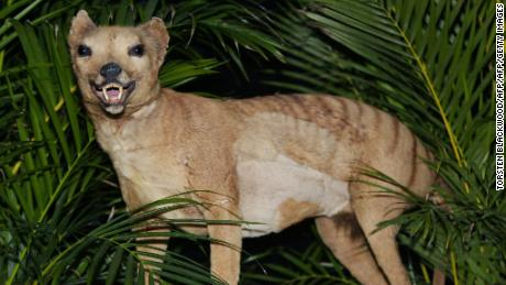 A Tasmanian tiger, which was declared extinct in 1936, displayed at the Australian Museum in 2002.