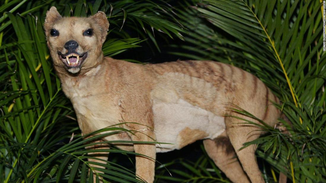 Orang-orang melaporkan penampakan harimau Tasmania, dianggap punah