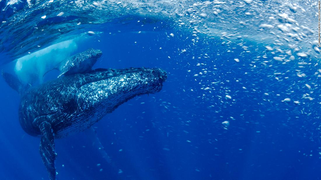 After being pushed close to extinction, this humpback whale population is making a comeback