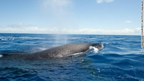 Western South Atlantic humpback numbers are recovering and on the rise