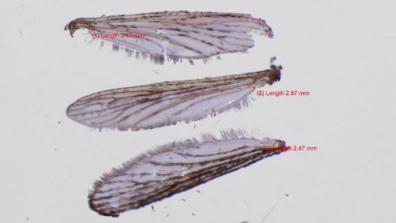 The researchers measured wing length as a proxy for the body size of the tiger mosquitoes.