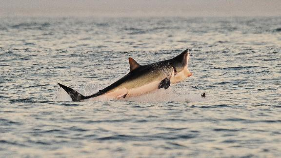 A Great White shark jumps out of the water as it hunts Cape fur seals near False Bay, on July 4, 2010. AFP PHOTO/Carl de Souza (Photo credit should read CARL DE SOUZA/AFP/Getty Images)