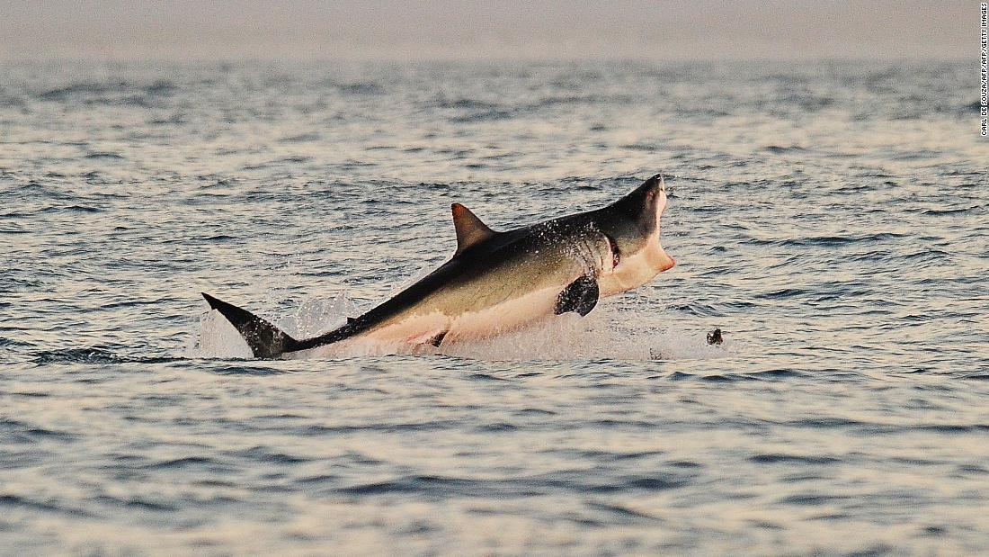 Has the great white shark really vanished from Cape Town's waters?