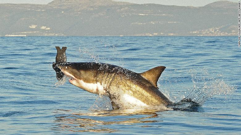 This image from July 2010 shows a great white shark jumping out of the water as it bites an artificial decoy seal near False Bay.