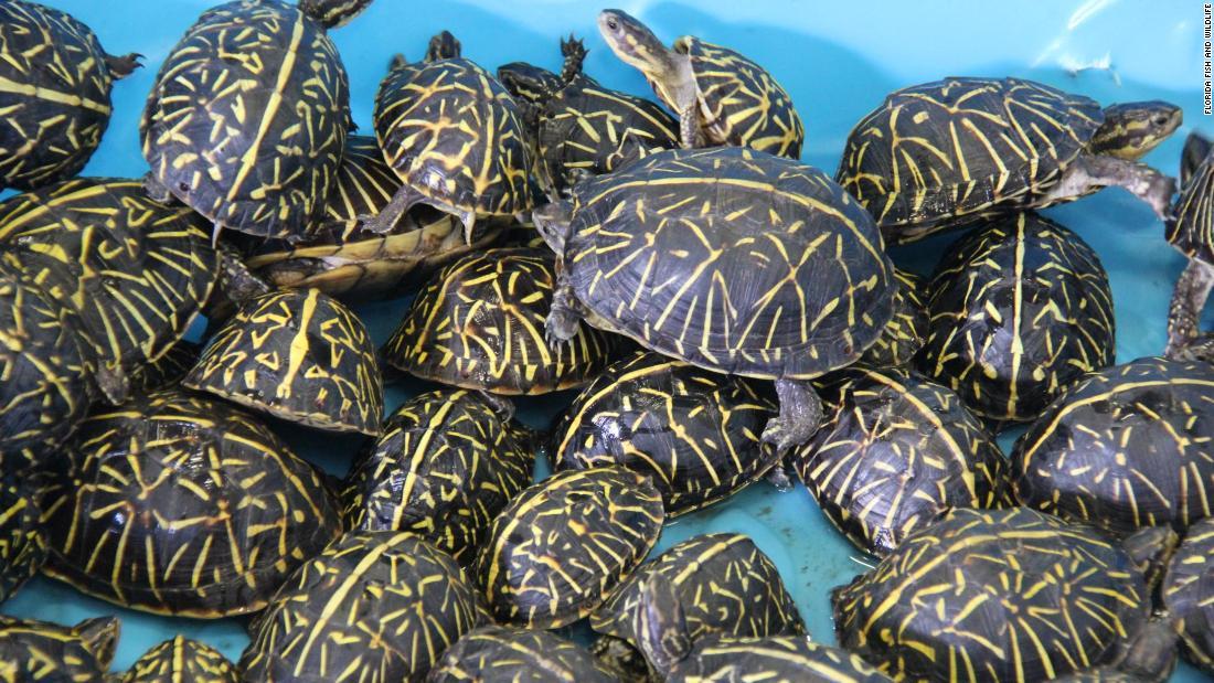 2 χρεώνονται με τη λαθροθηρία και την πώληση 4,000 μητρική Φλόριντα χελώνες σε 6 μήνες