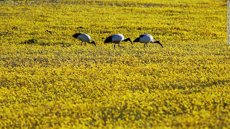 Wildflowers bloom in Namaqualand, in the Succulent Karoo.