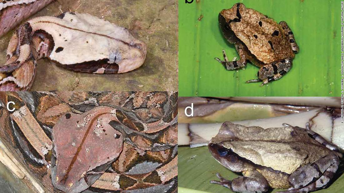A clever African toad learned to copy a deadly snake to trick predators out of eating it