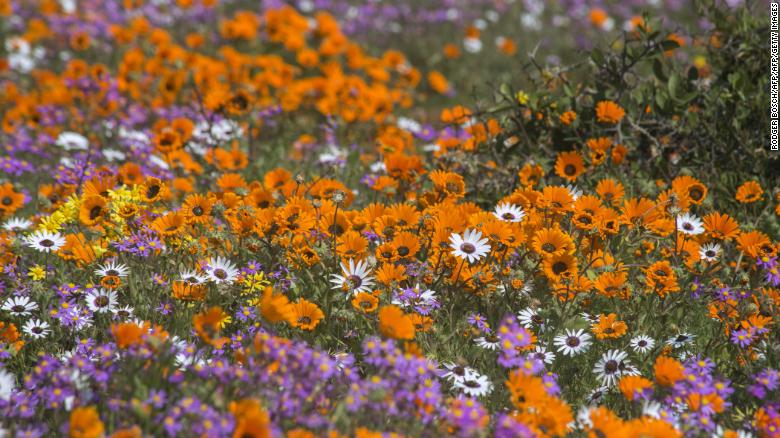 Wildflowers at the West Coast National Park close to the town of Langebaan, about 100km north of Cape Town, during the annual display of wildflowers, in 2015.