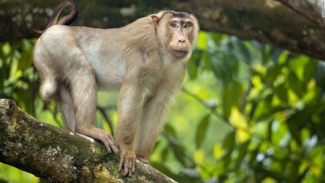 Rat-eating macaques could boost palm oil sustainability in Malaysia