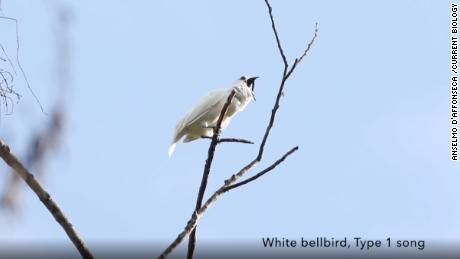 This bird's ear-splitting song could be the loudest in the world. It's nearly deafened potential mates