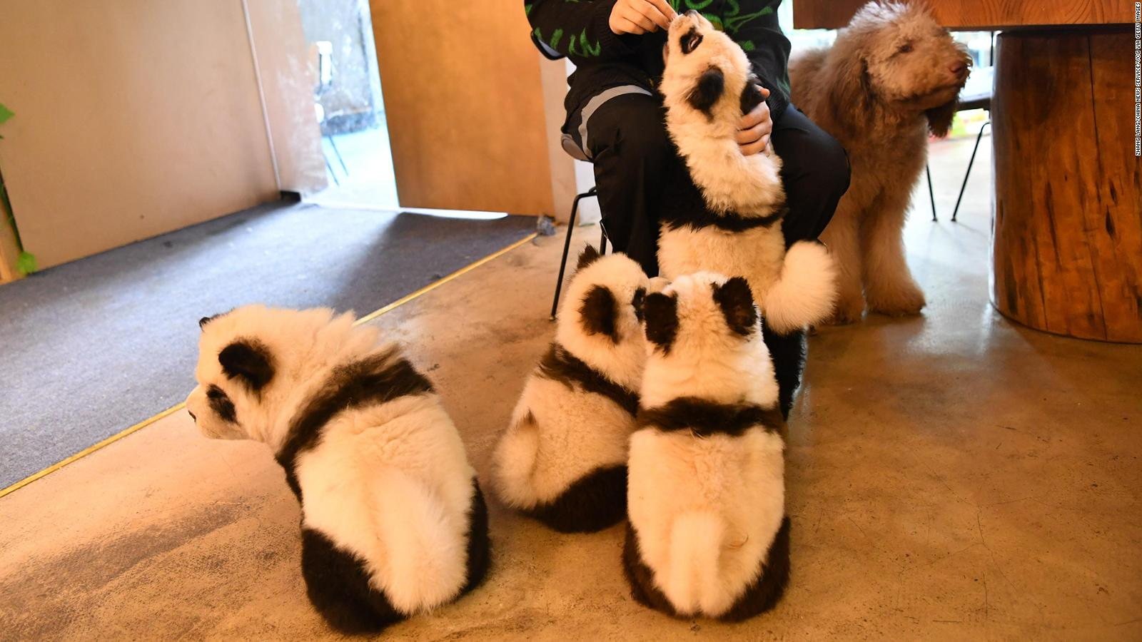 Paints Dogs To Look Like Giant Pandas