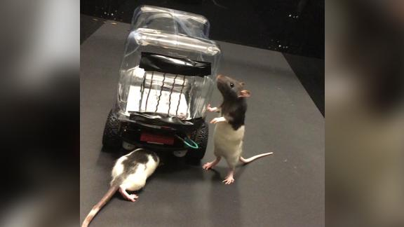 The rats inspect the ROV before getting behind the wheel--or copper bar, in this case. Responsible driving 101!