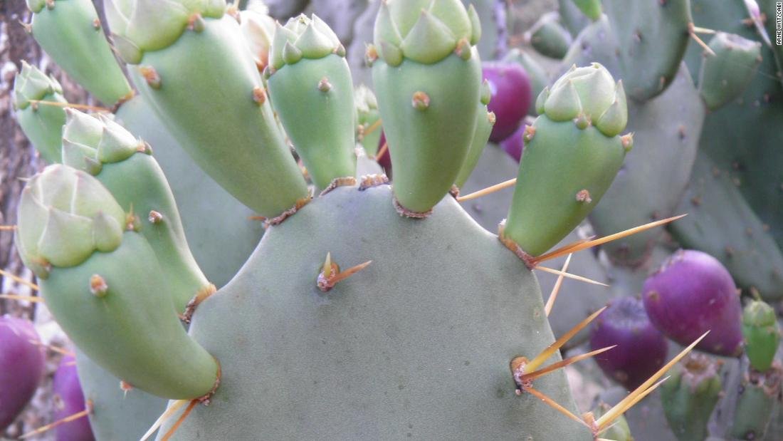 <strong>Bugs:</strong> Biocontrol is said to be the best way of managing the pesky cactus. That involves releasing cochineal insects that feed on the cactus, killing it off.