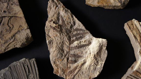 A fossilized fern found at the site. Ferns usually pop up in areas hit by disaster.